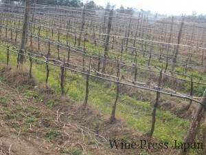 2月末のロゴノーヴォの畑。すぐそばにカステルジョコンドの畑が。