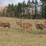 鹿の群。他にもキジ、イノシシ、ムフローニなど、多くの鳥や野生動物が息づいている。