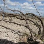 シャンパーニュ地方のシャルドネは、このシャブリ仕立てが多い。霜害防止だけでなく、樹勢のコントロールもしやすいため。