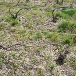 手前の木の枝につり下げてあるオレンジ色のものは防虫用のホルモン剤カプセル。シャンパーニュ地方の特級格付けの畑では、殺虫剤の使用が一切禁止されたところ。