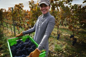 小さな平たいカゴで収穫。ブドウが潰れないで醸造所まで到着できます。