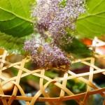 八寸が入った籠には繊細な紫陽花の花が一輪。