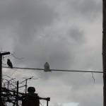 2月のどんよりした空を見つめる白い鳩。