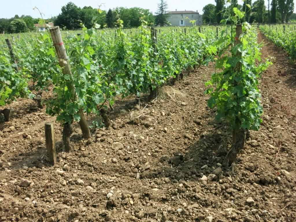 クロ・フロリデーヌの畑。これはピュジョル・シュール・シロンの区画だが、比較的砂利が多い。