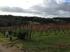 秋のオーストラリアのブドウ畑。
