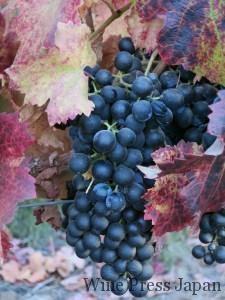 チリでは晩秋となる5月初旬、まだ収穫されずに残されていたカルメネール。