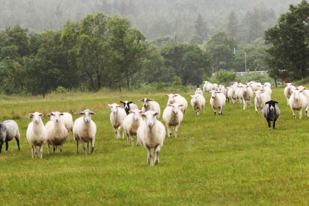 北海道美深町の仁宇布地区の羊。複数品種が掛け合わされていますが、夏はプラス30度以上、冬はマイナス30度以下にもなる同地の適正にあわせたこの地ならではの羊。